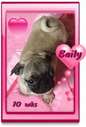 Baily is a pug puppy and is available now